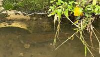 農業用水路に住み着いている魚なのですが…種類がわかる方はいらっしゃるでしょうか? 大阪北部で、マスのいる渓流から淀川までの途中です。 脂ビレもあるように見えますが、頭部は尖っていな くて鯉やナマズのような感じです。ヒゲはありません。