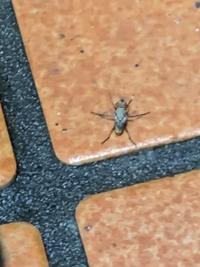 玄関に沸く虫について  昨日から急に画像の虫が玄関に発生するようになり、殺虫剤で殺しても時間が経つとまた湧いてしまいます。 今のところ発生源が分からなく、見つけたら処理してる感じな のですが、この虫が分かる方いましたら、教えて頂けないでしょうか?
