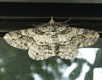 蛾の種類  写真の蛾について 種類が分かる方、ご教示ください。  本日、福岡県で撮影したものです。