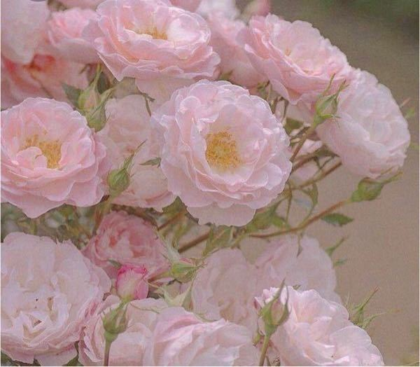 この薔薇の品種を知りたいのですが、調べても沢山あって似たようなのが見つかりません。 教えていただきたいです。