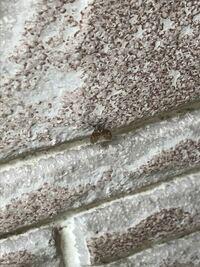家の外の壁面に小さい虫が大量発生してます。 なんという虫かわかる方教えてください。 写真見づらいくてすいません。 色と形的に蛾とかですかね?