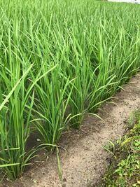 田んぼの稲の茎が細く葉っぱだけ長く伸びて 茎も柔らかいのですが なんの肥料を与えると茎が太くなりますか?  昨年もこんな感じで、収穫時には倒伏してしまいました 今年も昨年と同じような成長具合で怖くて 質...