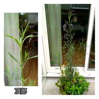 この草丈1m程になる雑草の名前を教えて下さい。剪定は全くしておりません。