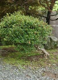つつじか?なんかの植木ですが 地面にコケ?(金平糖)のような 形の植物があたり一面に広がっ てきました。コケ用の除草剤を 撒いたらつつじに影響あります か?