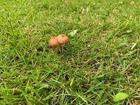 このキノコが芝生に生えていたんですが、なんという種類でしょうか? 毒はありますか? 食べられたりするのでしょうか?(笑)