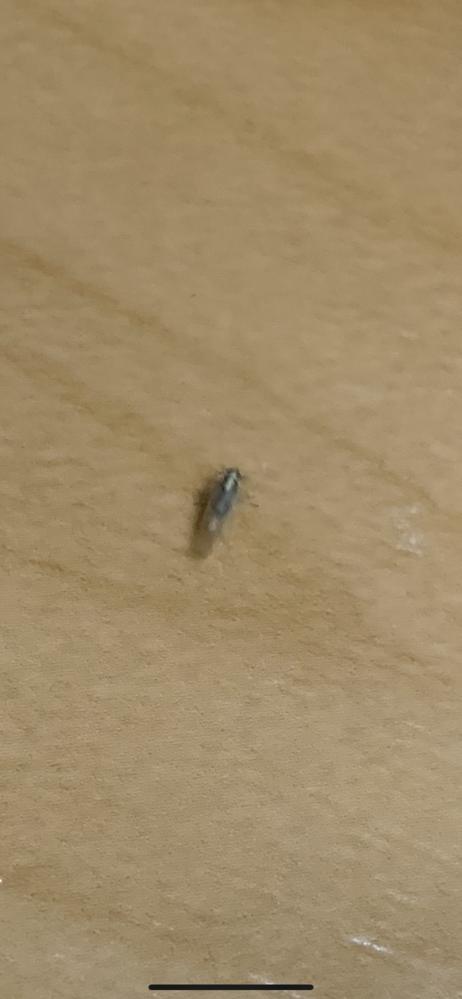 シロアリ?羽アリ? この虫が一月ほど前から定期的にマンション共用部に大量発生します。 どこからか家