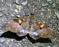 蛾の種類  写真の蛾について 種類が分かる方、ご教示ください。  本日福岡県で撮影したものです。