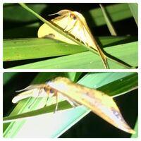 蛾の種類  写真の蛾について 種類が分かる方、ご教示ください。  本日福岡県で撮影したものです。 翅の内側(背面側)があまり映っていないため、同定が困難です。