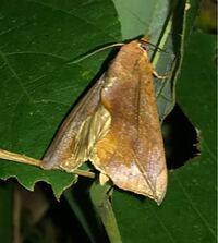 蛾の種類  写真の蛾について 種類が分かる方、ご教示ください。  昨日福岡県で撮影したものです。