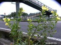 ①マツヨイグサですか? ②何で他植物が無いとこに生えるのですか? 岐阜県美濃加茂市で 20200724