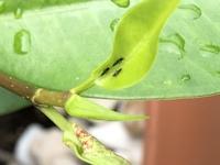 鉢木(ガジュマル)の葉に虫が付いて、葉が閉じた形になり、萎びた様子なっています。 高さ1m程度の木に20枚程度その状態です。 閉じた葉を開くと、2mm程度の細長い黒い虫(足が多い)と白い卵の 様なものがあります。 写真はその虫で、下に写っている葉の様になってしまいます。 この虫の正体と対処をご存じであればご教示お願い致します。