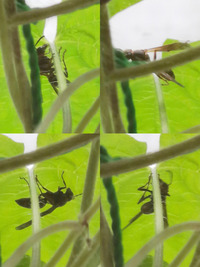 逆光なので細かいところはわからなくて申し訳ないんですが、 これはなんていう虫ですか?  胴の部分がしま模様なので蜂なんでしょうけど、 襲ってきたり刺したりする凶暴なタイプなのでしょうか? 庭の朝顔の葉っぱに最近よく飛んできています。  効果があるかはわからないんですが蚊取り線香を置いてます。