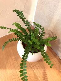 観葉植物に関して 画像の観葉植物なのですが、なんと言う名前かわからず、育て方もわかりません。 詳しい方いらっしゃいましたら、名前や育て方、注意点など教えて頂けたら嬉しいです。 宜しくお願い致します。