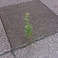 雑草にお詳しい方へお伺いをいたします。 ・ 画像は、わずかなタイルのすきまから自生をしている雑草でございます。  ・ ここで質問です。 どうして雑草は土が少ししかないところでも自生ができているのでしょうか。 雑草のDNA(遺伝子)がそうさせているのでしょうか。 ・ いかがでしょうか。