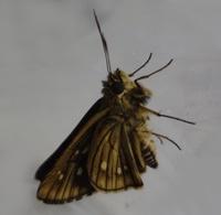 このセセリチョウの種類を教えてください。 笹の葉にいた幼虫を育てたものが羽化しました。 セセリチョウであることは分かったのですが種類がわかりません。 よろしくお願いします。
