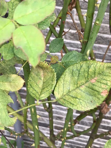 地植えして3〜4年のバラ、ラレーヌビクトリアの葉がほとんど全部、かすり状になりました、 最初、ハダニかなと思ったのですが、何かの病気でしょうか?