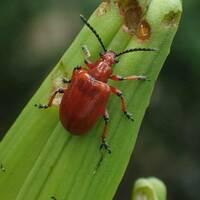 この昆虫はルイスアシナガオトシブミでしょうか? 教えて下さい。