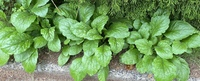 こちらの野草の名前を知っている方教えてください。また、食べられる野草かどうかも知りたいです。よろしくお願いします。