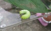 この青虫(イモムシ)はなにの幼虫がわかりますか?家で育てられる幼虫でしょうか?