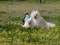 イヌ好きな愛犬家さんに質問です・   よく犬がかわいくて、かわいくて仕方がない 何よりも犬が好き 最優先という方がいらっしゃいます。 うちには2人のポメラニアンがいるのですが、一日2時間の散歩を連れて行...