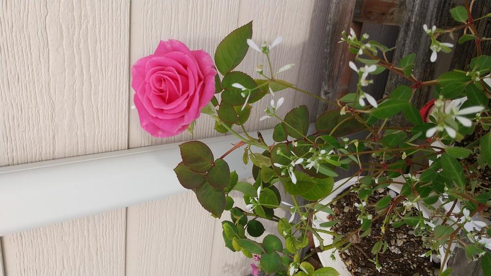 この薔薇の品種を教えて欲しいです。 よろしくお願いします。