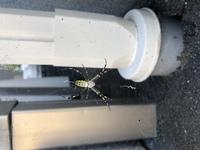 北海道札幌市です。このクモの名前ってなんですか?危険ですか?