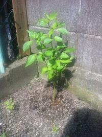 ピーマンの育て方についてアドバイスをください。  去年の秋から家庭ミニ菜園を始め、ピーマンを育てていますが、育たず、実ができません。 今年の収穫は期待していませんが、来年以降に活かしたいので、アドバイスをいただけないでしょうか?よろしくお願いします。  なお、栽培状況は以下の通りです。  ・庭の粘土質の土を、小石や瓦礫を取り除き、1/3の量、腐葉土、牛糞堆肥、バーク堆肥、もみ殻を...