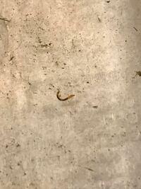 メダカの針子の放置しまくった水槽(青水になりかけ)にいたんですが大きいもので長さ5ミリ太さ1ミリ以下です。コケを食べてこんな色になったアカムシとかでしょうか??針子は元気です。この謎の虫は放置しても...