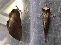 ◆アケビコノハでしょうか?◆  *注意:虫の画像あります!  先ほど近くのスーパーに買い物に行ったところ、入り口付近の壁の上のほうに翅を立ててとまっている枯葉のような蛾がいました。 捕まえてみようと手...