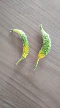 ゴーヤをプランターで育てています! 数個、小さいうちに黄色くなりはじめ、大きく成長せず最後はまっ黄色になり萎れてしまう実があるのですが、原因が分かる方いらっしゃいますか?