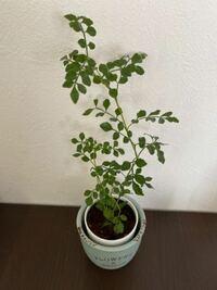 100円ショップで購入した観葉植物です。 鉢に刺してあった札には「観葉植物」とだけ書かれていました。 この植物は何という名前でしょうか?