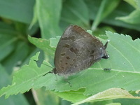 昨日、千葉市の公園でこんな蝶をみましたが、名前が分かりません。それにアゲハではないのに、翅からでている突起のようなものも不思議です。 もっとよく撮ろうと近づいたら、飛んで行ってしまい、よく見られませ...