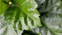 ハイビスカスにつく虫について 最近ハイビスカスを鉢植えで育て始めました。  写真にあるアリのような虫が葉を這っています。  この虫はハイビスカスに悪影響はありますか?