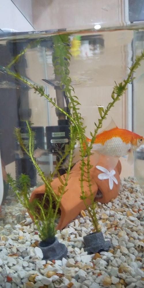 金魚って水草こんなに食べるんですね もう代え時ですか?