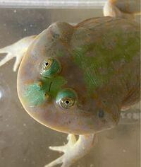 カエル。バジェットガエル(マルメタピオカガエル)についてです。 今日餌あげた時に気づいたのですが、目と目の間に小さなキリ傷を見つけてしまったのですが、この傷跡は一生残ったままになるんですかね?それか、直す方法とかありますか? よろしくお願いします。