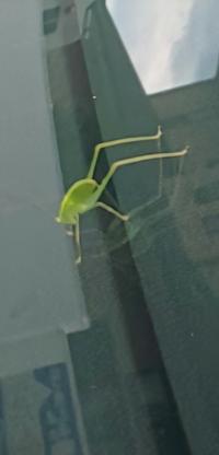 虫の名前を聞きたいです 画質悪くてすみません この緑の虫はなんですか? 特徴は ・触覚?ひげ?が長い ・足は六本で後ろ足二本が長い ・身体はとても小さい