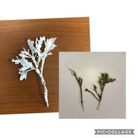 海岸で拾いました、これは何ですか?  サンゴかと思ってましたが、サンゴで検索しても出てこず。。 そのあと、海藻が付いたものも拾いました。 海藻が剥げて白くなるのか、それとも白いもの に海藻が付着した...