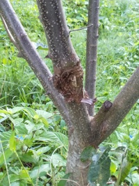 栗の木に写真のようなものが去年からあります。 何でしょうか? 虫ですか、病気ですか。 栗のイガは今のところ緑色に育っています。