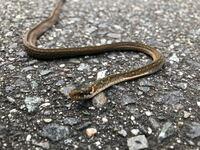 このヘビの名前を教えてください。