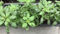 イタリアンパセリの種を植えたつもりでしたが、プランターから謎の植物が育ってきました。何を育てているのだろう、と思いながら毎日水をあげています。これは何の植物でしょうか。