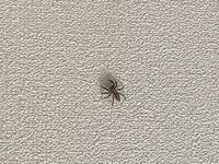 こいつはいい蜘蛛ですか? ちっちゃいやつは良い奴だと思ってるんですが こいつは10円玉くらいでかかったです