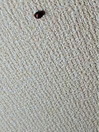 家の天井にいるこの虫はてんとう虫でしょうか?現在大学3年で3年前から上京してますが、一昨年も去年もこの季節になったらいます。全体的に黒で赤い斑点があります。虫の知らせ?のようなものがあると聞きますが...
