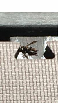 画質が悪くて申し訳ないのですが、このハチは何の種類かわかりますでしょうか? 子供と外でプールをしていたら水を飲みに来ている感じで何度も往復しているようです。  刺されたりしたら困るので何か対処法はない...