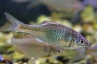 姫路水族館にいた淡水魚ですが、名前を控えるのを忘れてしまいました。この魚の名前を教えてください。よろしくお願いいたします。タナゴの仲間でした。