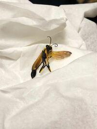 この虫が部屋の中に出たのですが なんという種類の虫かご存知の方いらっしゃいますか?知っている方、教えてください!!