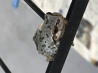 このカエルの種類を教えてください。 何カエル??