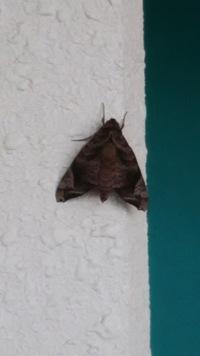 この蛾の名前が分かりましたら教えてください。大きさは、3.5センチくらいで、木の皮の様な焦げ茶色です。朝からずっと同じところに止まったままなのですが、いつまで居候するのか…ビクビクしな がら過ごしていま...