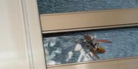ハチについて困っています。 先程玄関にこのようなハチが止まっていました。 普段見るアシナガバチとは違うと思って写真を取りました。 手ブレがひどくてすみません。 このハチは何と言う種類でしょうか? 調べた...