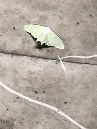 手のひらサイズの蛾です。 名前を教えてください。