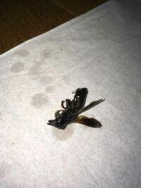 【閲覧注意】 ハチの死骸を表示しておりますので閲覧にご注意下さい。     今年に入って3回目になりますが同じ種類と考えられるハチが部屋に入ってきました。  写真はハチ撃退用のスプレーで殺傷したものです。   質問になりますが、  ◆1.これは何という種類のハチか分かりませんでしょうか。(体長は3センチくらいです。)  ◆2.なぜ同じ種類のハチが部屋に入ってくるのでしょうか。 今のところ同じ...